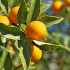 Fleur d'oranger (bigaradier)