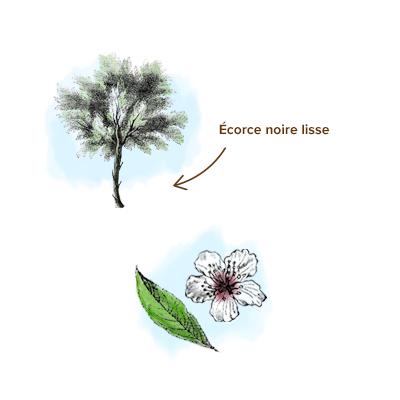 Apparence-amande-arbre