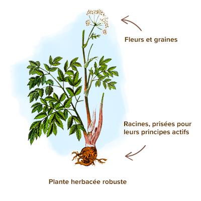 Apparence-angelique-plante
