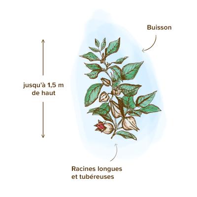 Apparence-ashwagandha-plante
