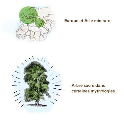 Origine-aubier-de-tilleul
