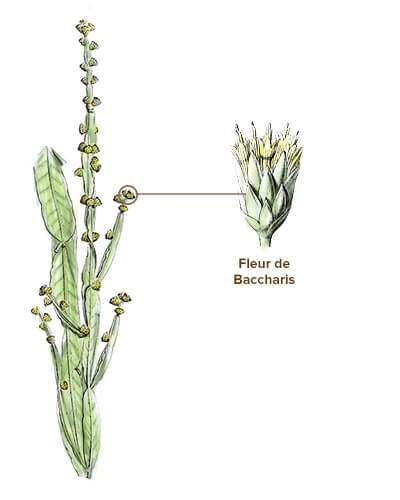 illustration baccharis