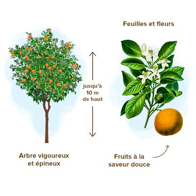 Apparence-bigaradier-fleur-d-oranger