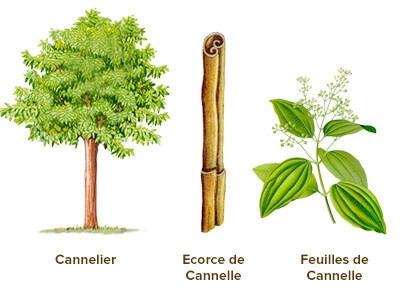 illustration cannelle