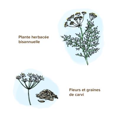 Apparence-carvi-plante