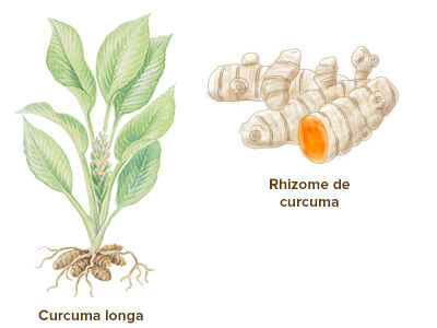 illustration curcuma