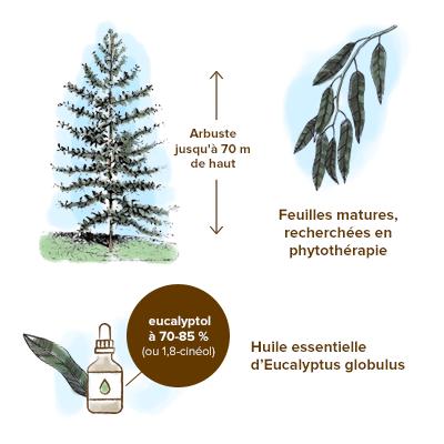Apparence-eucalyptus-globulus