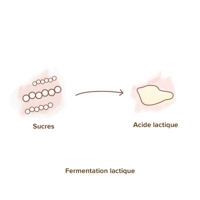 role_des_ferments_lactiques