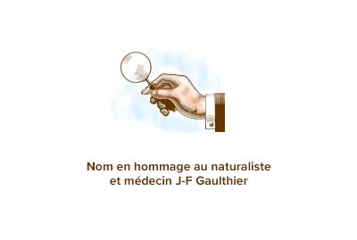 Origine-gaultherie