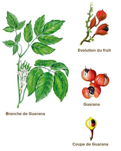 illustration guarana