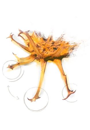 racines harpagophytum