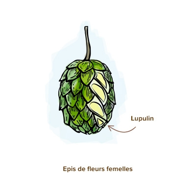 houblon-apparence