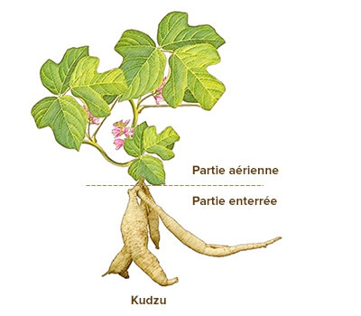 illustration kudzu