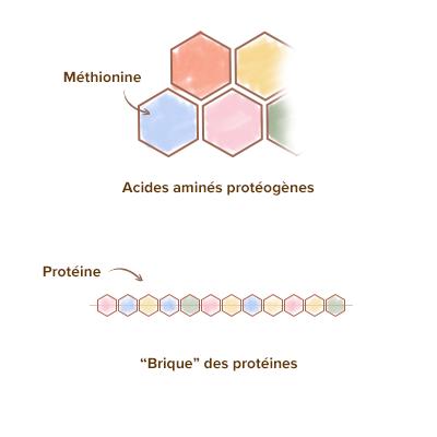 Apparence-brique-l-methionine