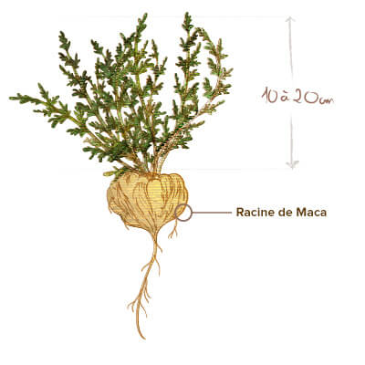 illustration maca