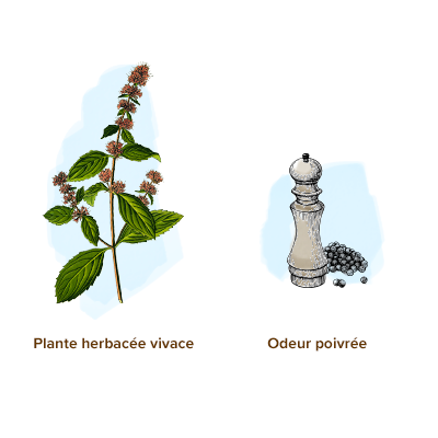 Apparence-menthe-poivree-herbe