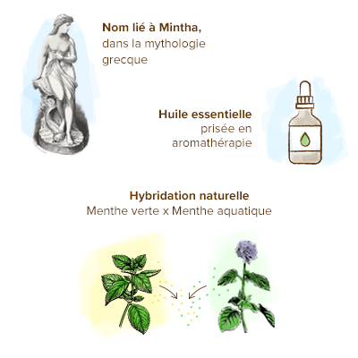 Origine-menthe-poivree