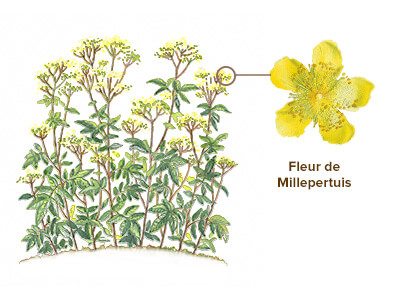illustration millepertuis