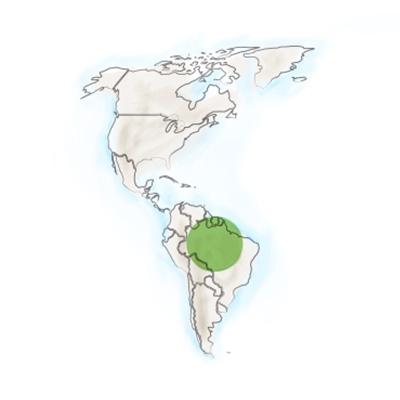 origine-geographique-muira-puama