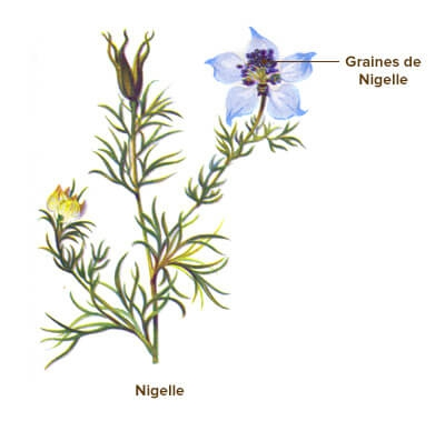 illustration nigelle