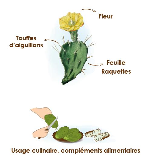 Apparence-composition-et-formats-du-nopal
