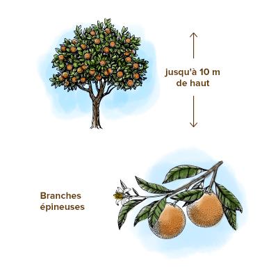 Apparence-oranger-arbre