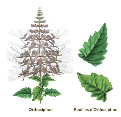 illustration orthosiphon