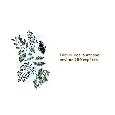 Origine_ravintsara_famille_lauraceae