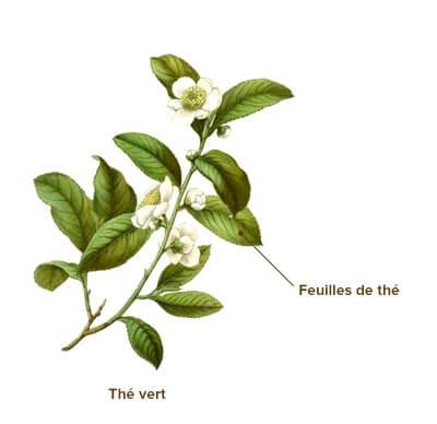 illustration thé vert
