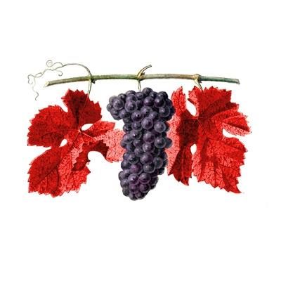 a_quoi_ressemble_la_vigne_rouge